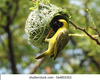 Southern masked weaver (Male)