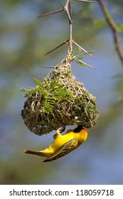 A southern masked weaver male building its nest in a thorn tree
