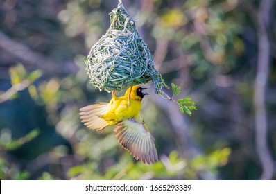 The southern masked weaver (Ploceus velatus), or African masked weaver, is a resident breeding bird species common throughout southern Africa.