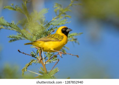 Southern Masked-weaver - Ploceus velatus, beautiful yellow black faced weaver from South Africa, Sossusvlei, Namibia.