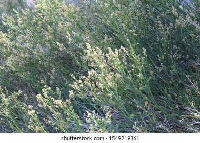 Southern Mojave Desert native plant growing near 49 Palms Oasis of Joshua Tree National Park, known commonly as Desert Baccharis, and taxonomically ranked as Baccharis Sergiloides.