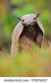 Southern Naked-tailed Armadillo, Cabassous unicinctus, Pantanal, Brazil. Wildlife scene from nature. Funny portrait of cute animal hidden in the grass.