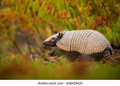 Southern Naked-tailed Armadillo, Cabassous unicinctus, strange rare animal with shell in the nature habitat, Pantanal, Brazil. Wildlife scene from nature.