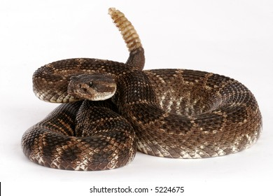 Southern Pacific Rattlesnake (Crotalus viridis helleri).  Against a white background.