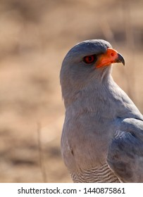 Southern Pale Chanting Goshawk in the Kgalagadi
