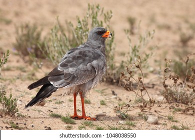 The southern pale chanting goshawk (Melierax canorus) sitting on the ground with open beak in typical position.