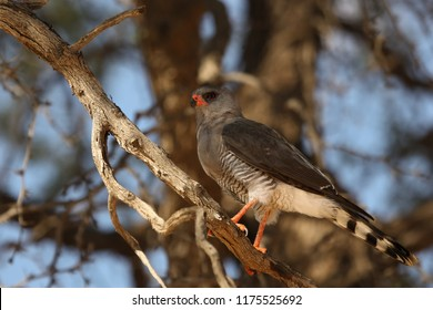 The southern pale chanting goshawk (Melierax canorus) sitting on the branch and watching around. The southern pale chanting goshawk (Melierax canorus) in morning sun.