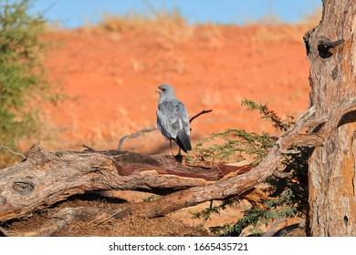 Southern pale chanting goshawk, Melierax canorus, desert bird of prey against red dunes. Birding in Kgalagadi transfrontier park, Botswana.