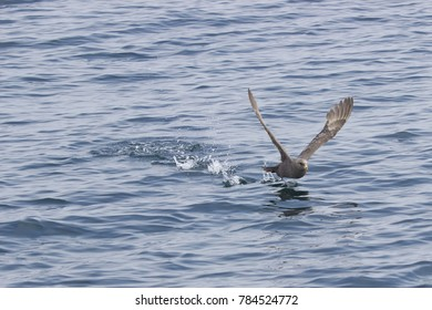 Southern  Petrel makes the acceleration before takeoff