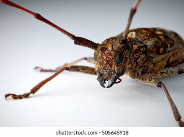Southern pine sawyer beetle on white background.  Photographed in Virginia, USA.