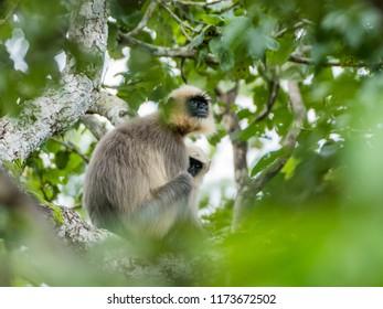 Southern plains gray Langur wandering on the trees in monsoon season of  Kabini Forest , Karnataka , India