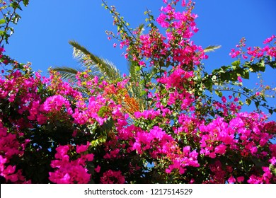 southern plant with many pink flowers, juicy color, summer, against the blue sky, palm trees, bindweeds, colors of nature uplifting