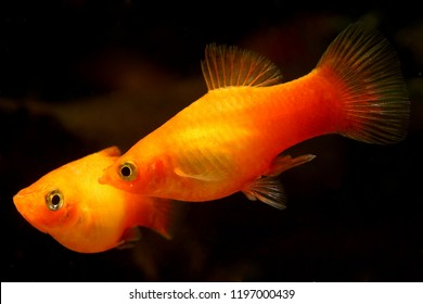 Southern platyfish (Xiphophorus maculatus) very common and easy aquarium fish, Orange Sunset Platy