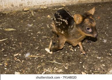 Southern pudu (Pudu puda) baby