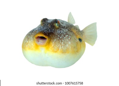 The southern puffer, Sphoeroides nephelus, is a species in the family Tetraodontidae, or pufferfishes. Isolated on white background