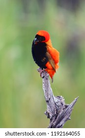 The southern red bishop or red bishop (Euplectes orix) sitting on the branch with green background. Red passerine at courtship.