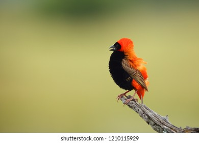 The southern red bishop or red bishop (Euplectes orix) sitting on the branch with green background. Red passerine at courtship in reeds.