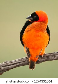 The southern red bishop or red bishop is a small passerine bird belonging to the bishop and widowbird genus Euplectes in the weaver family,