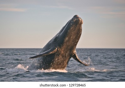 Southern Right Whale in Argentina waters