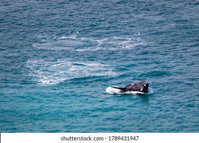 Southern right whale breaching on the surface. Young whale calf playing, exercising and jumping out of the water showing open mouth. Nullarbor plain, Head of Bight, South Australia