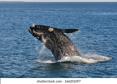 A Southern right whale breaching in Walker Bay,Hermanus,South Africa