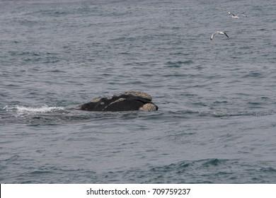 southern right whale, Eubalaena australis, Gansbaai, South Africa, Atlantic Ocean