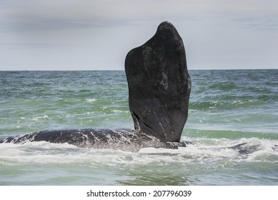 Southern right whale flipper