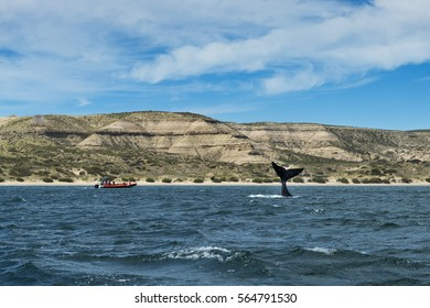 Southern Right Whale flipping its tale in the Valdes Peninsula in Argentina; Concept for travel in Argentina and Whale Watching