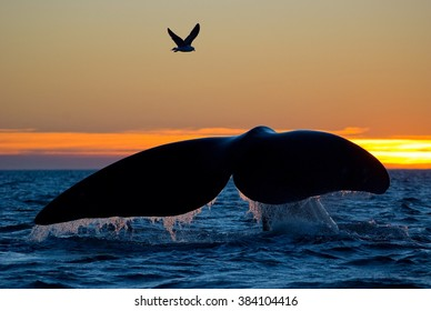 Southern Right Whale with Gull