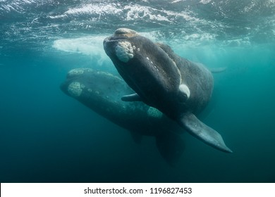 Southern right whale and her calf during the calving and mating season, Valdes Peninsula, Argentina.