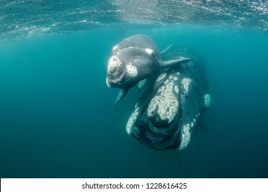 Southern right whale and her calf looking at the camera, Valdes Peninsula, Argentina.