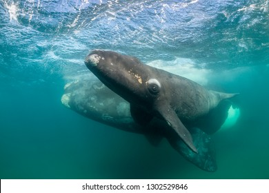 Southern right whale and her calf, Nuevo Gulf, Valdes Peninsula, Argentina.