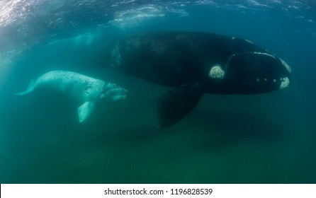 Southern right whale and her white calf during the calving and mating season, Valdes Peninsula, Argentina.