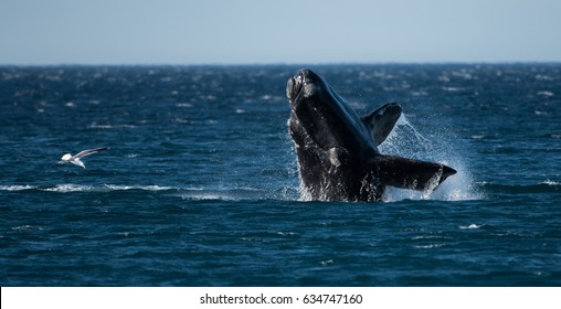 Southern Right Whale jump  -  Salto Ballena Franca Austral