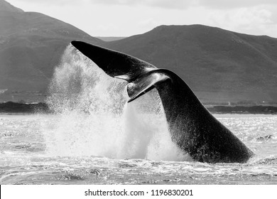 Southern right whale lob tailing, Hermanus, South Africa.