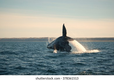 Southern Right Whale off the coast of Patagonia Argentina