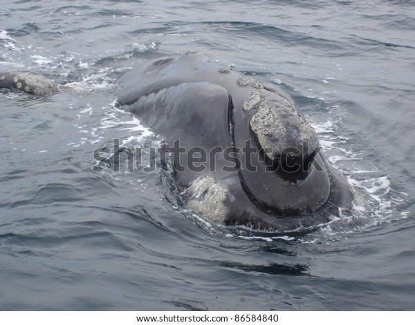 Southern Right Whale off Peninsula Valdes