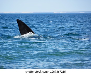Southern right whale on the surface of atlantic ocean in Gulfo NBuevo, Punta Flecha, Puerto Madryn. Patagonia Argentina