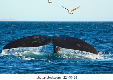 Southern Right whale in Puerto Piramides, Peninsula Valdes, Patagonia, Argentina.