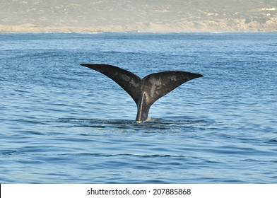 A Southern Right whale showing it's tail flukes in Walker Bay, Hermanus, South Africa.