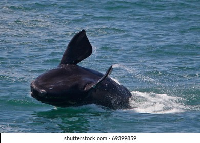 Southern right whale, South Africa