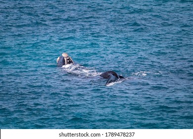 Southern right whale swimming, breaching and playing. Head and tail above sea surface. Callosities on the head allow identification of individual whales. Nullarbor, Head of Bight, Australia