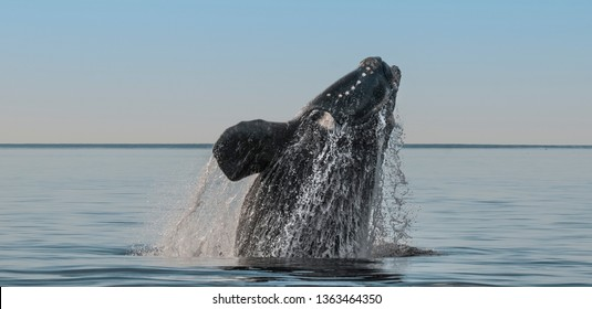 Southern right whale,jumping behavior, Puerto Madryn, Patagonia, Argentina