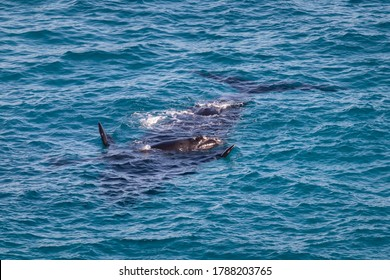 Southern right whales. Couple cow and calf. Mother upside down, baby on its belly. Isolated individuals. Nursing area at Head of Bight, Nullarbor, South Australia