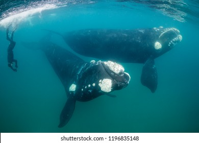 Southern right whales  during the calving and mating season, Valdes Peninsula, Argentina.