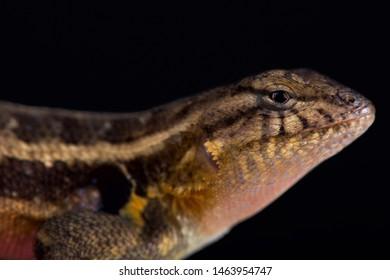 Southern rosebelly lizard (Sceloporus variabilis olloporus)