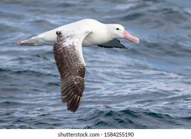 Southern Royal Albatross (Diomedea epomophora) flying over the waves of the southern Pacific ocean of subantarctic New Zealand.