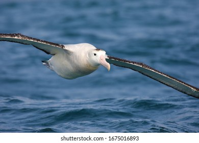 Southern royal albatross in flight over New Zealand waters