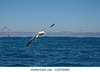Southern royal albatross, gliding into a landing on the ocean, Kaikoura, New Zealand