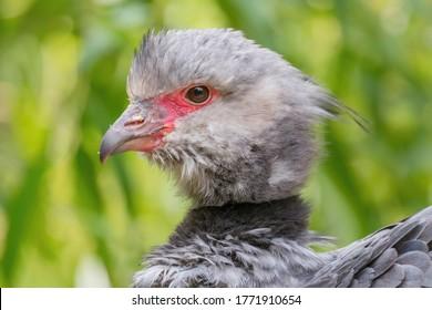 Southern Screamer - Chauna torquata, portrait of large ground bird from South America savannas and grasslands, Brazil.